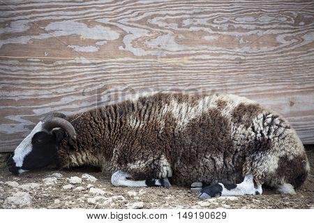 A large sheep sleeps against wooden structure.