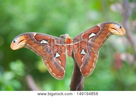 beautiful tropical orange brown and white moth butterfly named Attacus Atlas from Saturniidae family also known as Atlas moth in branch plant poster
