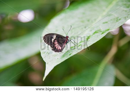 Beautiful Butterfly Parides Iphidamas On Green Leaf