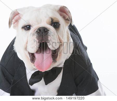 english bulldog puppy wearing a tuxedo on white background
