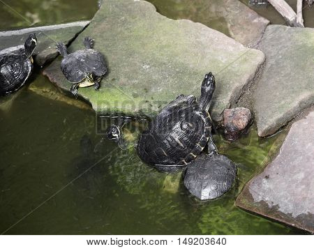 European pond turtle resting on the stones in the lake. Emys orbicularis