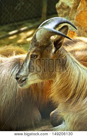 Mountain goat head shot showing eyes and horns