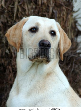 Labradog Retriever Dog Head Portrait