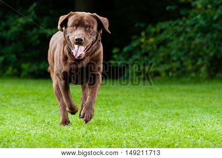 Dog (Brown Labrador) running through a meadow