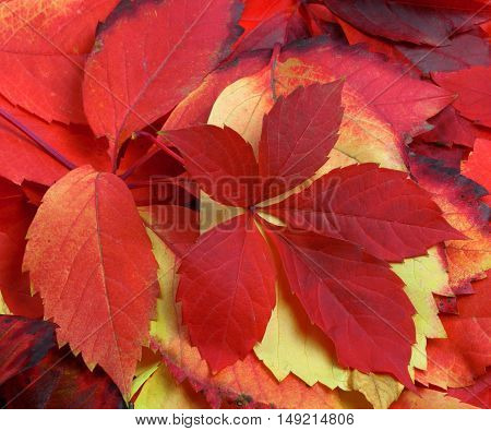 Natural Background Of Multicolor Autumn Leafs