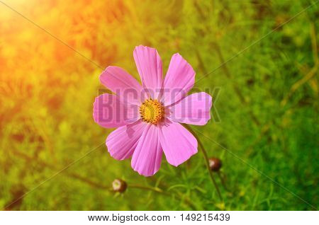 Closeup of pink cosmos flower - in Latin Cosmos Bipinnatus. Summer floral background of summer cosmos flower under bright sunshine. Selective focus at the flower. Summer floral landscape
