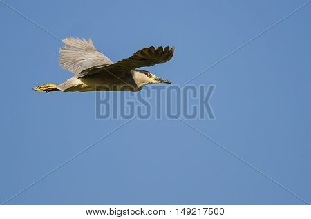 Lone Black-Crowned Night Heron Flying in a Blue Sky