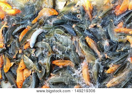 Colourful Coy Fish in Pond in Vietnam