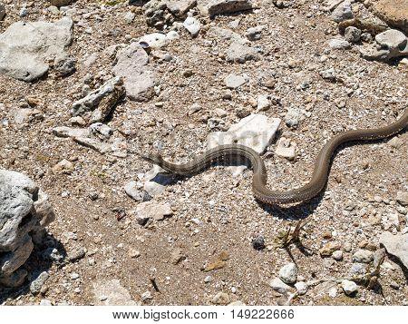 Snake crawling on the ground writhing among the rocks