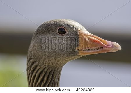 Close up of a greylag goose (Anser anser) showing the head neck and bill detail.
