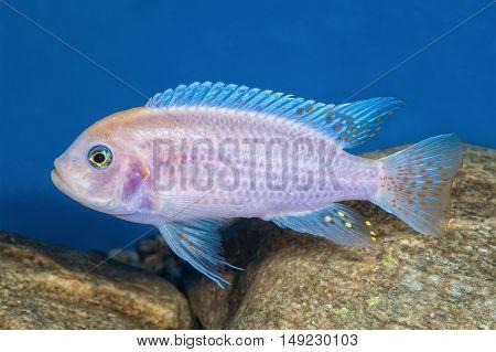Portrait Of Cichlid Fish (maylandia Zebra) In Aquarium
