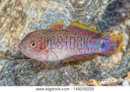 Portrait Of Gobiid Fish (tateurndina Ocellicauda) In Aquarium