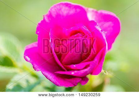 Beautiful pink rose macro photo. Soft focus.