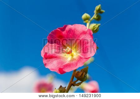 Bright pink hollyhock (Alcea rosea) are blooming in garden. Mallow flowers.