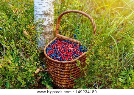 Basket of bilberry and cowberry in the forest near the tree among the blueberry bushes.