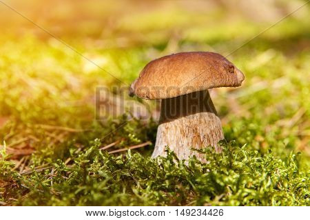 Mushrooms Boletus growing in forest. Autumn Cep Mushrooms. Mushrooms Picking.