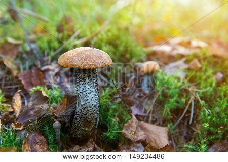 Forest Mushroom orange-cap boletus in the grass.