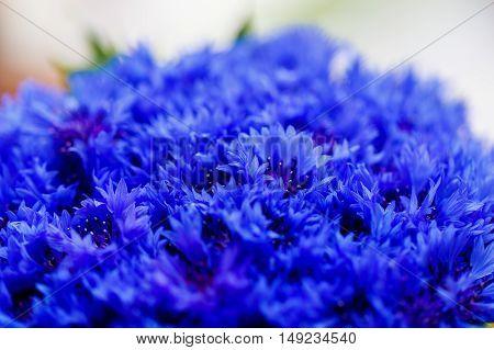 Beautiful spring flowers Blue Centaurea cyanus on background. Blue flowers pattern.