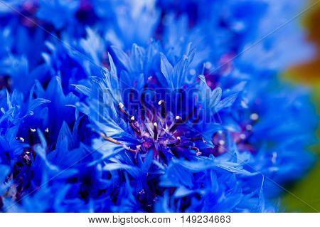 Beautiful spring flowers Blue Centaurea cyanus on background. Blue flowers pattern. Macro photo.