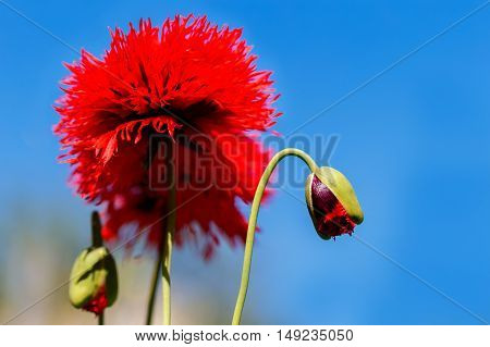 Red poppies on a background blue sky.