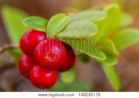 The ripe fresh berries of cowberries (lingonberry partridgeberry or cowberry) in the forest. Macro photo. Nature in summer season.