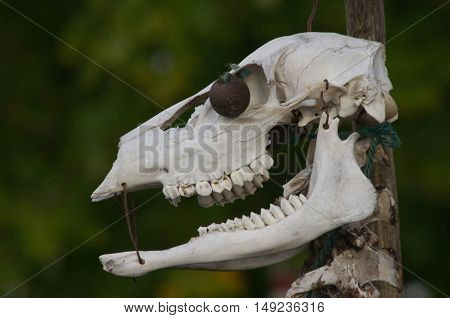Halloween decoration using a deer skull found in woods.