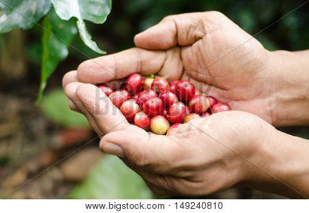 fresh arabica coffee berries on man hands