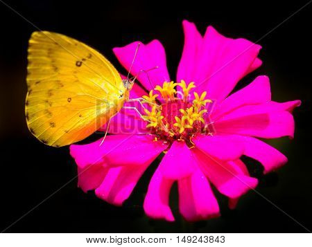 Yellow butterfly on a bright pink flower (focus on butterfly drinking)