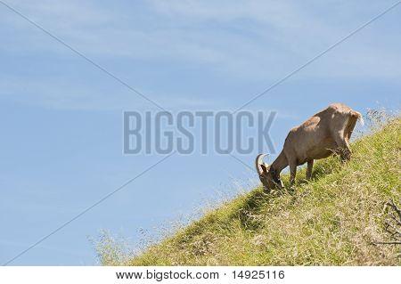 Goat On Rigi Mountain, Switzerland