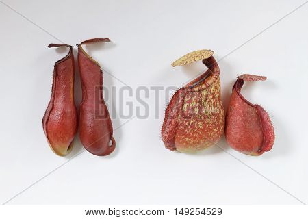 Beautiful Pitcher Carnivorous Plant Nepenthes