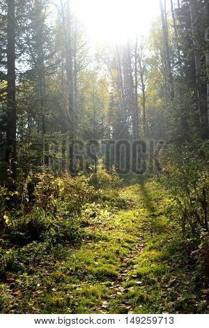 Autumn taiga forest to rot, yellow and red leaves and the sun behind the trees, the path to a bright green grass and bushes on the sides