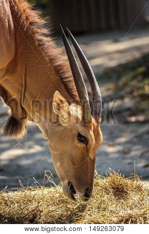 Eland Antelope (taurotragus Oryx)