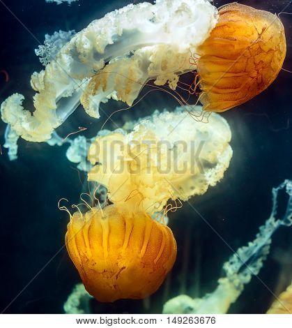 See Nettle (chrysaora Hyoscella)