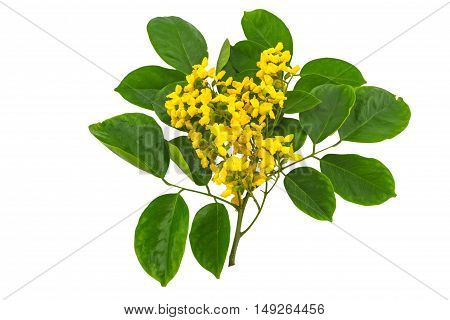 Closed up yellow flower of Burmese Rosewood or Pterocarpus indicus WilldBurma Padauk and green leaf isolated on white background.Saved with clipping path.