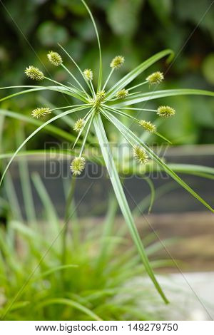 Close up view papyrus green plant cat grass