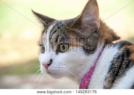 Close up of beautiful calico cat being curious outdoors