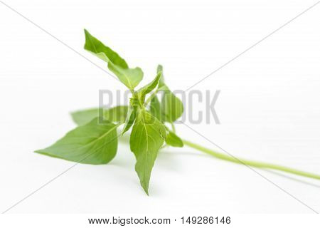 fresh green Hoary basil or lemon basil