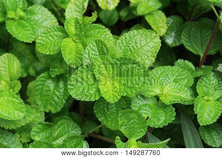 fresh green mint leaf in the garden