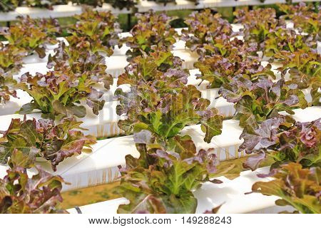 Fresh salads in the garden,Hydroponic vegetables growing in greenhouse