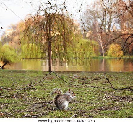 Grey Squirrel (sciurus Carolinensis) On The Green With Beatiful Scenery As Background