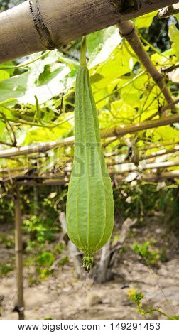 Luffa acutangula in the garden with light, dishcloth gourd, Luffa cylindrica