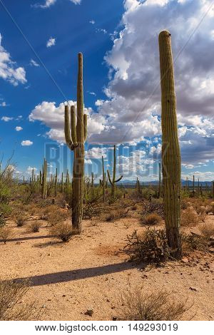 Saguaro Cactus in Organ Pipe National Monument, Arizona