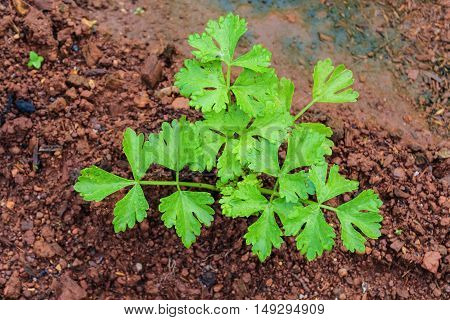 fresh baby celery plant in the garden
