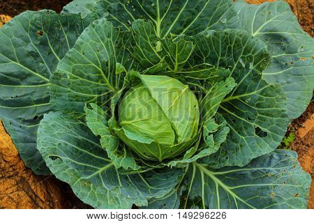 Green cabbage in the garden. Natural Background