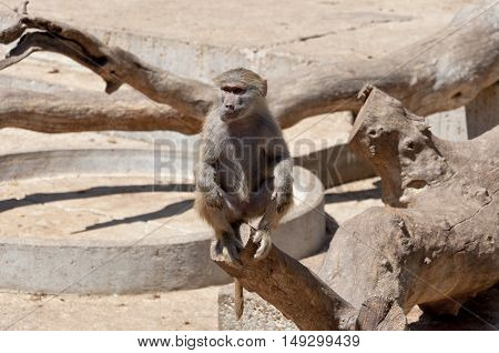 Yellow baboon, Papio cynocephalus. It is a baboon from the Old World monkey family. It inhabits savannas and light forests in the eastern Africa.