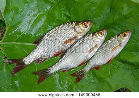 Three Common Rudd Fish On Natural Background.