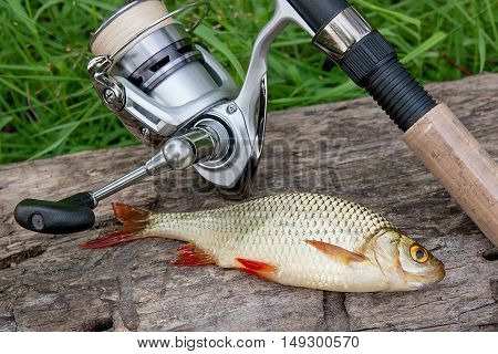 Сommon Rudd Fish On Natural Background. Catching Freshwater Fish And Fishing Rods With Fishing Reel.