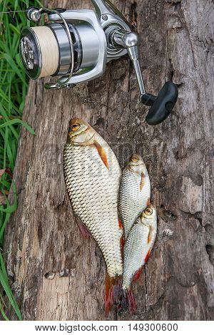 Three Common Rudd Fish On Natural Background. Catching Freshwater Fish And Fishing Rods With Fishing