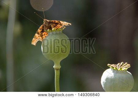Brown painted lady butterfly backlit perched on a poppy seed head, England