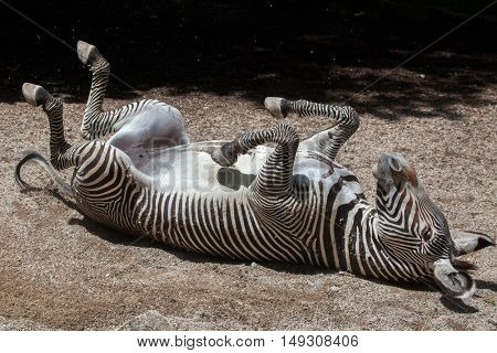 Grevy's zebra (Equus grevyi), also known as the imperial zebra rolling in the dust. Wildlife animal.